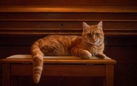 Картинка кот, взгляд, позирование, рыжий