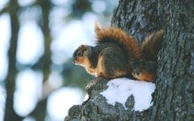 Обои зима, животные, снег, дерево, белки