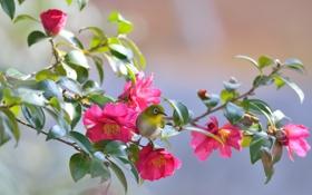 Обои листья, цветок, камелия, белоглазка, птица, ветка