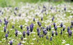 Обои поле, лето, цветы