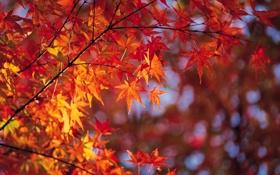 Обои осень, листья, ветка, яркость