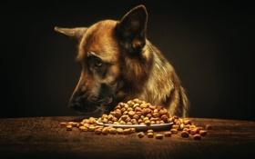 Обои тарелка, корм, пёс