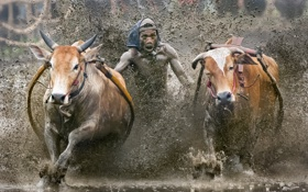 Картинка sport, Indonesia, cow race