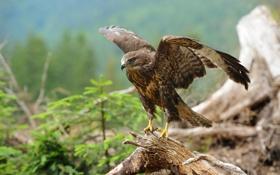 Картинка птица, ветка, ястреб