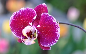 Обои цветок, вода, капли, роса, лепестки, орхидея