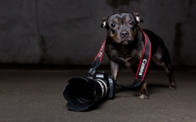 Обои взгляд, собака, камера