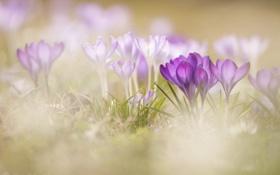 Обои макро, цветы, весна, крокусы, боке