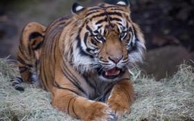 Картинка кошка, тигр, суматранский