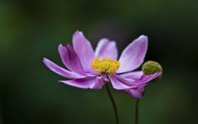 Обои цветение, цветок, лепестки, розовые, бутон