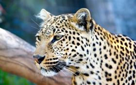Обои взгляд, крупный план, хищник, леопард