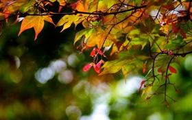 Картинка капли, лес, осень, клен, цвета, листья, обои