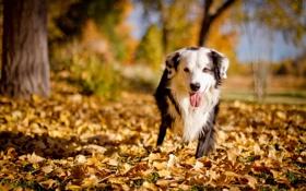 Картинка друг, осень, собака