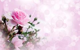 Обои цветы, фото, розовый, розы, бутон