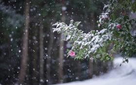 Обои холод, зима, цветы, листва, ветка, снегопад, цветение
