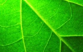 Обои макро, лист, растение, зелёный, прожилки