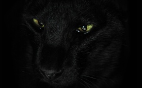 Картинка кошка, усы, взгляд, животное, черная, зеленые глаза