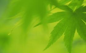 Обои лист, листочки, зеленые, лето