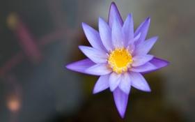 Обои цветок, пруд, сиреневый, вода, водяная лилия