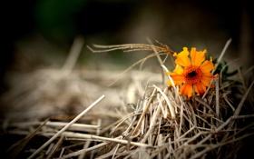 Обои цветочек, оранжевый, трава, сухая