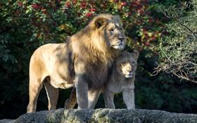 Картинка лев, отец, львенок, сын