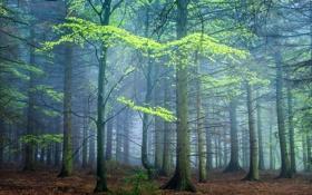 Обои деревья, лес, Великобритания, Darley Moor, туман