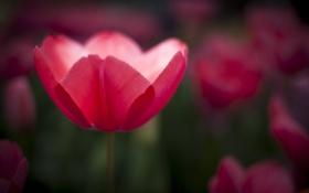 Обои цветы, розовый, тюльпан, фокус