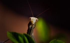 Картинка макро, жук, Mantis