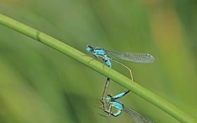 Обои насекомые, стебель, боке, стрекозы