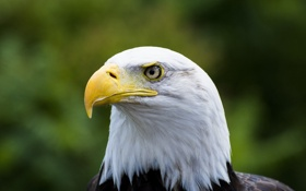 Обои птица, хищник, голова, клюв, белоголовый орлан, гордый
