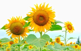 Картинка лето, подсолнухи, природа, фон, лепестки