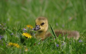 Обои трава, одуванчик, малыш, птенец, лужайка, гусёнок
