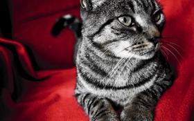 Обои кот, красный, красный фон, котэ