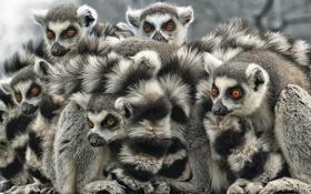 Картинка white, black, lemur