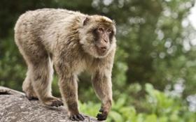 Картинка животное, размытость, обезьяна