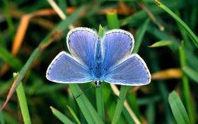 Обои макро, бабочка, мохнатый, метелик