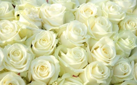 Обои цветы, букет, белые розы