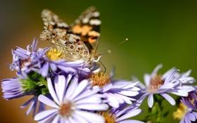 Обои макро, цветы, природа, бабочка