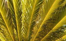 Обои palm, зелёные, пальма, gold, green, Nature, branches