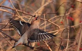 Картинка птица, осень, ветки, ягоды