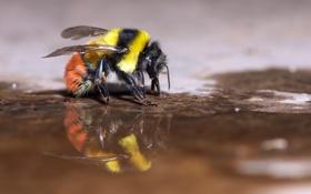 Картинка макро, природа, пчела