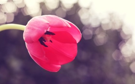 Обои цветок, природа, тюльпан, весна, лепестки, бутон