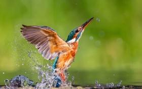 Картинка брызги, обыкновенный зимородок, alcedo atthis, kingfisher, капли, птица, вода