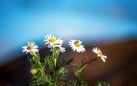 Обои насекомое, пчела, ромашка, цветы, куст