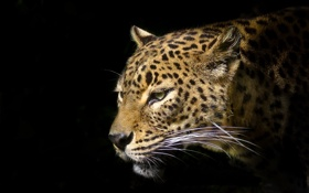 Обои усы, морда, хищник, леопард, черный фон