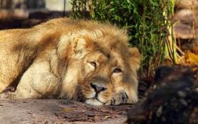 Обои морда, хищник, Лев, лежит, смотрит, lion, большая кошка