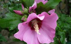 Обои природа, цветок, мальва, сиреневый, цветы