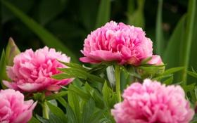 Обои цветы, flowers, кустарник, розовые пионы, shrubs, pink peonies