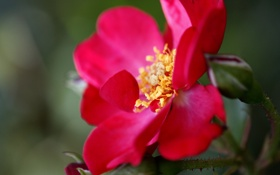 Обои цветок, макро, красный, растение, лепестки, шиповник, алый