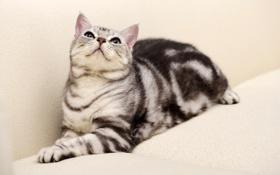 Обои кот, окрас вискас, диван, кошка