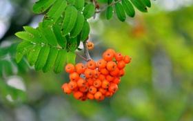 Картинка листья, рябина, природа, ветка, макро, ягоды